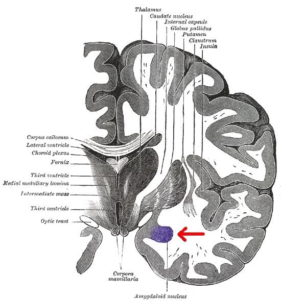 https://en.wikipedia.org/wiki/Amygdala#/media/File:Gray_718-amygdala.png