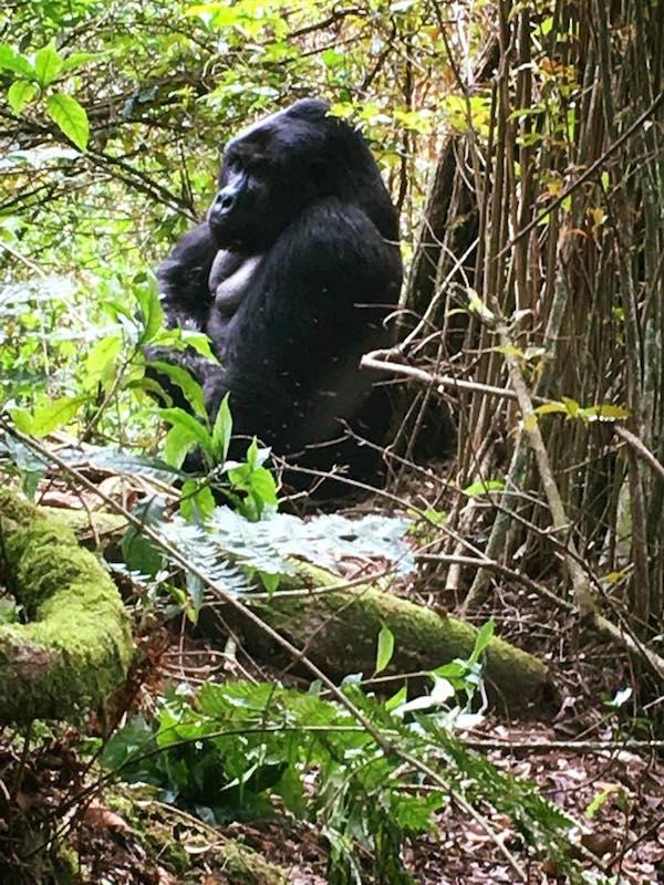 Gorilla, Uganda, Tracking, Africa,