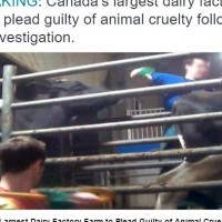 """Caught on Tape: this large Dairy Farm to Plead """"Guilty."""""""