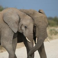 Great News for Elephants after Major Announcement from China.