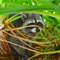Meditation & what the Raccoon Taught Me. {A True Story}
