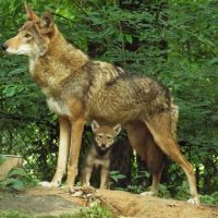 New Ruling Allows Mother Wolves & Pups to be Killed on National Wildlife Refuges.