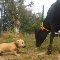 Watch what Happens when this Adorable Puppy Meets a Cow. {Video}