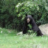 "How our ""Bad Bear-havior"" is contributing to Bear Fatalities."